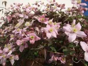 Odorata (vanilie)