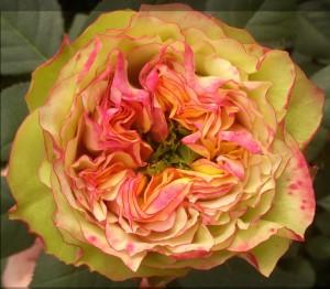 S10-30-Zuri-fully-open-flower1