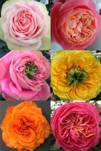 Viking-Roses-spectacular-flower-shapes-and-colors